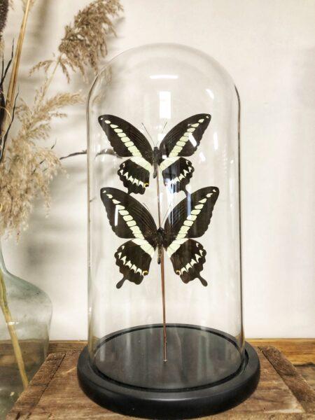 vlinderstolp, vlinders, insecten, naturalia, woondecoratie, interieur